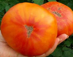 Желто-красные помидоры не очень часто можно встретить
