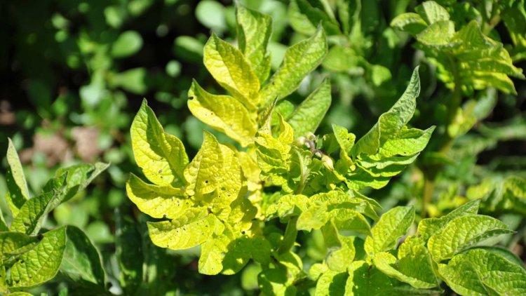 Чтобы спасти растение от гибели, необходимо сразу при появлении желтизны на томатах принимать меры
