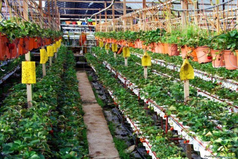 Выращивать в голландской теплице можно абсолютно все