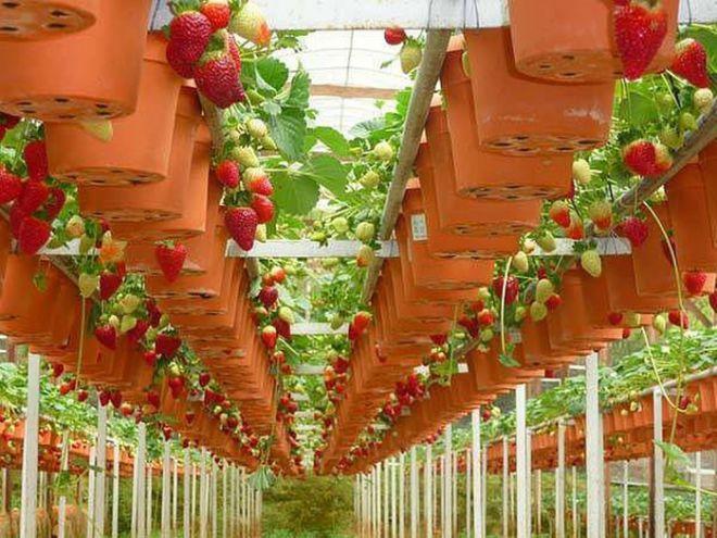 Клубника по голландской технологии выращивается с применением специальных самоопыляющихся сортов, с использованием особого субстрата и воды специального состава