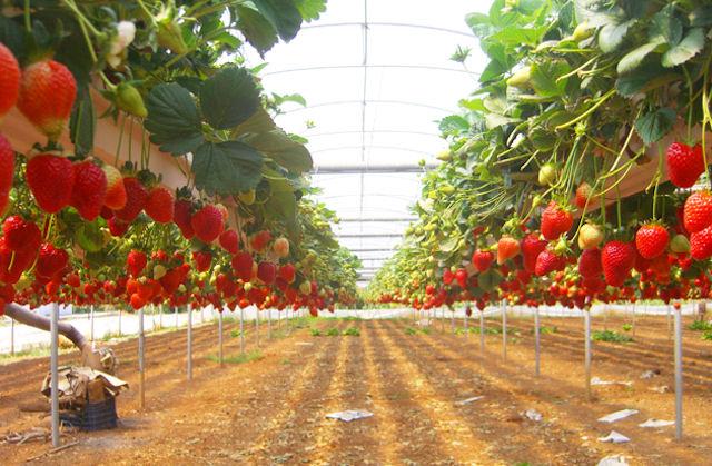 Голландия — страна, которая занимается разведением самых разных овощных, плодово-ягодных культур, цветов в промышленных масштабах