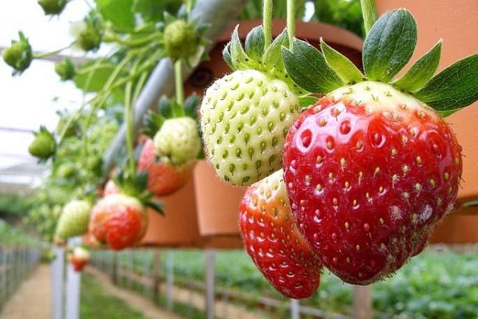 Если у вас получится эксперимент с выращиванием земляники садовой в небольших масштабах, то можно будет вкладывать деньги и труд в более масштабное ее разведение