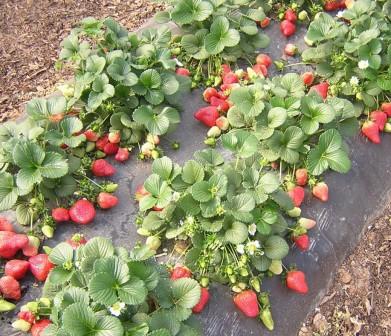 Опытные садоводы знают, какими должны быть грядки для клубники