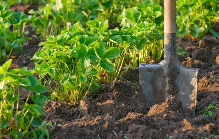 Неотъемлемым этапом выращивания садовой земляники является обустройство земельного участка