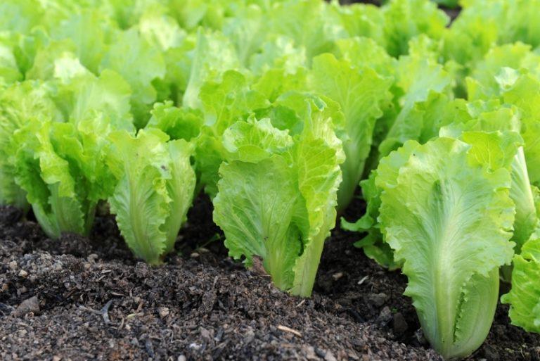 Рекомендуется сажать клубнику на грядках, где ранее произрастала зелень (салаты, горох, фасоль)
