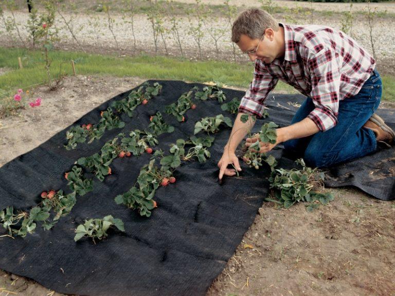 Для посадки растений делаются разрезы длинной 15 см в соответствии с расположением рассады