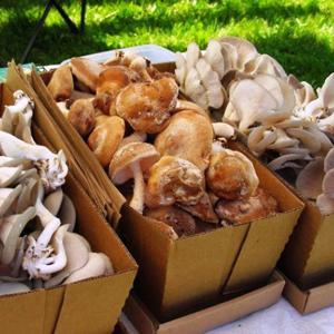 Сегодня выращивание грибов в тепличных условиях стало популярным и достаточно прибыльным делом