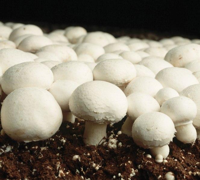 Оптимальный температурный режим компоста +30° С, так как выращивать шампиньоны на начальном этапе при более высоких или низких температурах невозможно