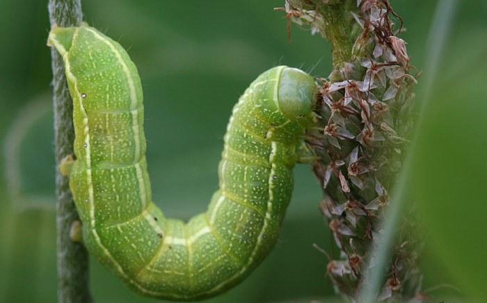 Сначала эти насекомые повреждают листочки томатов, потом подбираются к бутонам и цветам, а позже начинают поедать сами плоды