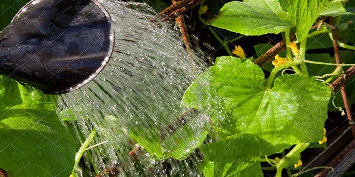 Вода должна быть обязательно теплой, поскольку холодная угнетает корневую систему