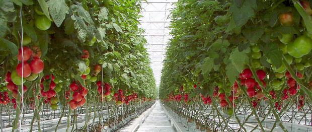 Индетерминантные томаты характеризуются неограниченным ростом основного стебля