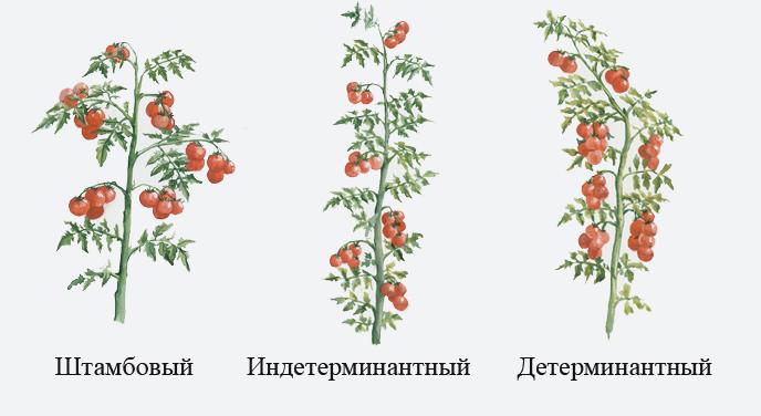 Сорта индетерминантных томатов, выращиваемые в теплых краях или в хорошо отапливаемых теплицах, могут давать по 40-50 кистей урожая