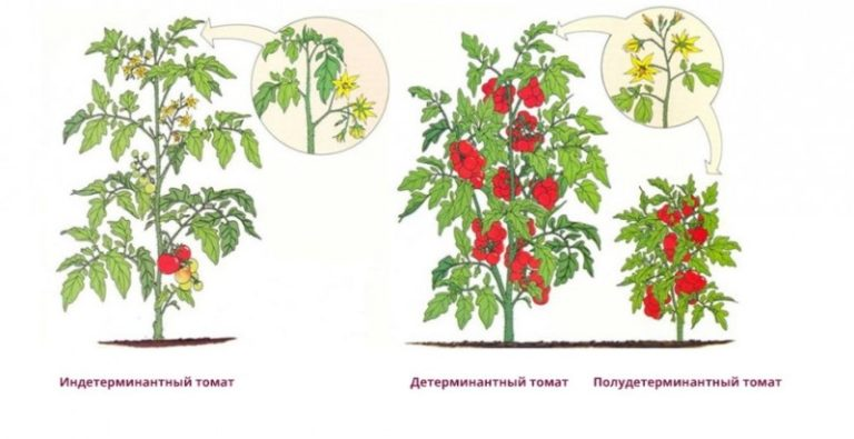 Детерминантные помидоры не могут похвастаться очень богатым урожаем