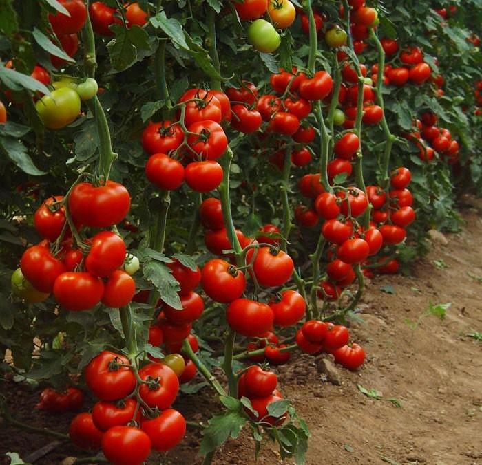 Искусственно выведенное растение характеризуется скороспелостью, высокой устойчивостью к различным заболеваниям