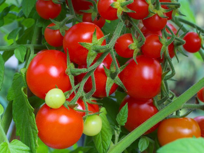 Этот сорт помидоров считается первым гибридом отечественного производства