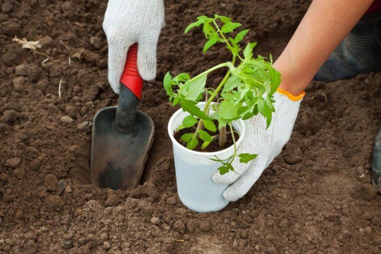 Пересаживать томаты в теплицу можно, когда рассада достигла 10-12 см в высоту
