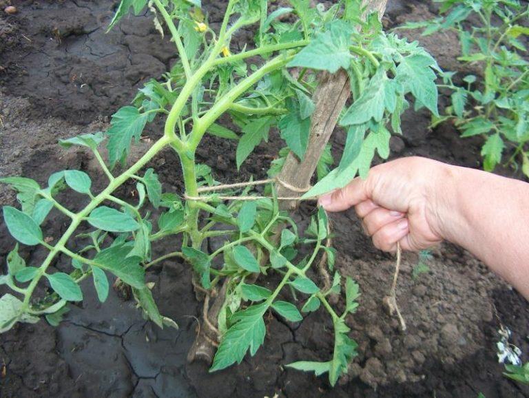 Особое внимание при уходе за помидорами необходимо уделить подвязке