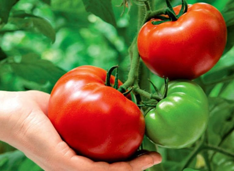 Вторая подкормка помидор раствором медицинского йода должна проводиться тогда, когда у кустов будет завязываться кисть