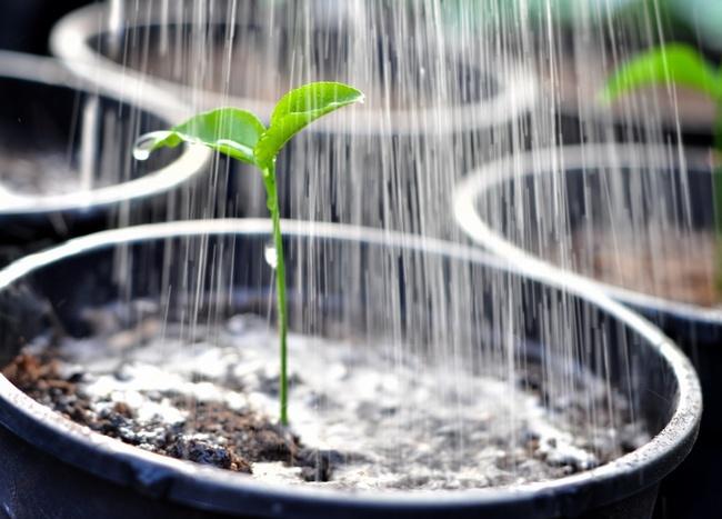 Регулярные оросительные мероприятия являются необходимым условием для роста и развития рассады