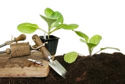 Опытные садоводы и огородники долгое время используют при выполнении работ на приусадебном участке лунный календарь посадки рассады