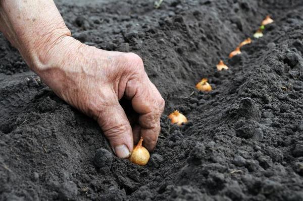 С середины октября принято высаживать озимый лук и чеснок