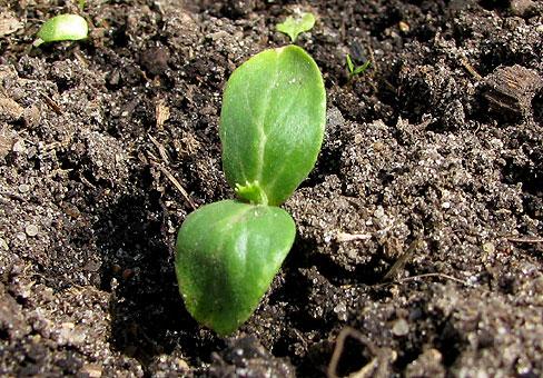 Вот так выглядит будущий арбуз