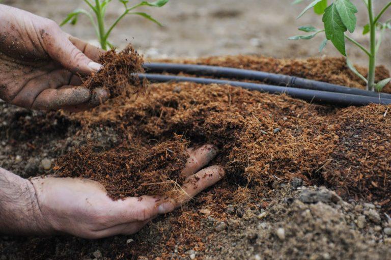 Помидоры высаживаются в подготовленные лунки, куда предварительно добавляется удобрение