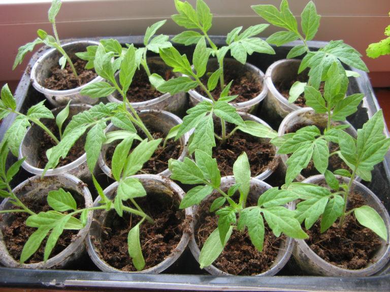 Разные сорта помидоров подразумевают разную схему высадки