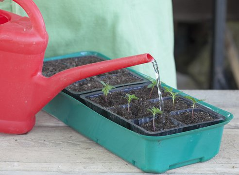 Если почва просела, добавляют еще субстрата и снова поливают