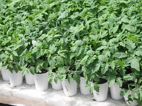 Покупайте семена томатов только у проверенных продавцов, а перед посадкой обязательно вымочите их в растворе марганцовки