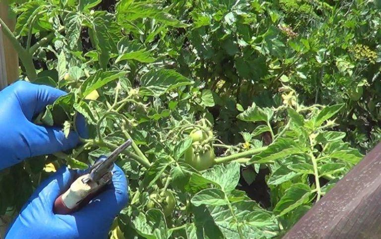 Формировать томаты (пасынковать) лучше всего утром погожего, солнечного дня: к вечеру место среза успеет подсохнуть и растение легче перенесет эту процедуру