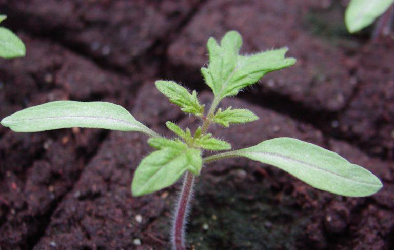 В первый раз подкормку рассады томатов надо провести при сформировании на молодых растениях 2-3-х настоящих листочков