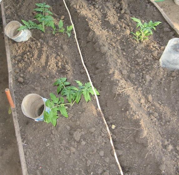 Поскольку вся влага сразу уходит под землю, нет необходимости разрыхлять грунт после полива