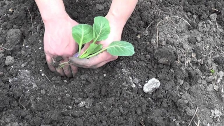 Капуста очень любит влагу, поэтому стоит высаживать растение в низине