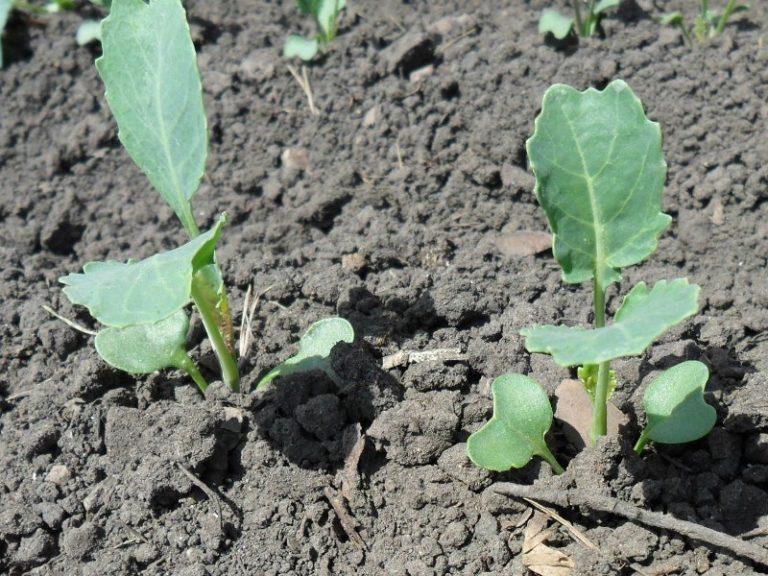 Правильно определить участок, где будет проводиться высадка капусты в открытый грунт, подразумевает собой первый шаг к получению хорошей урожайности
