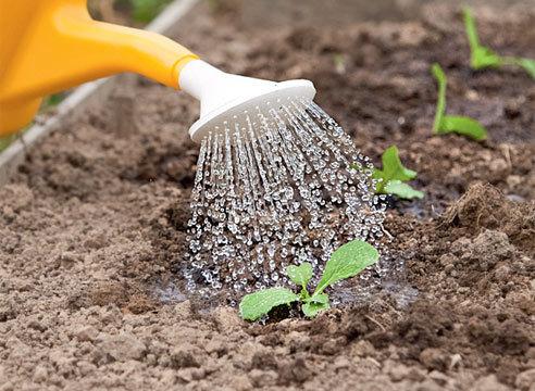 Опытными овощеводами рекомендован полив при помощи дождевания, так как от этого и воздух вокруг растения тоже будет насыщен влагой