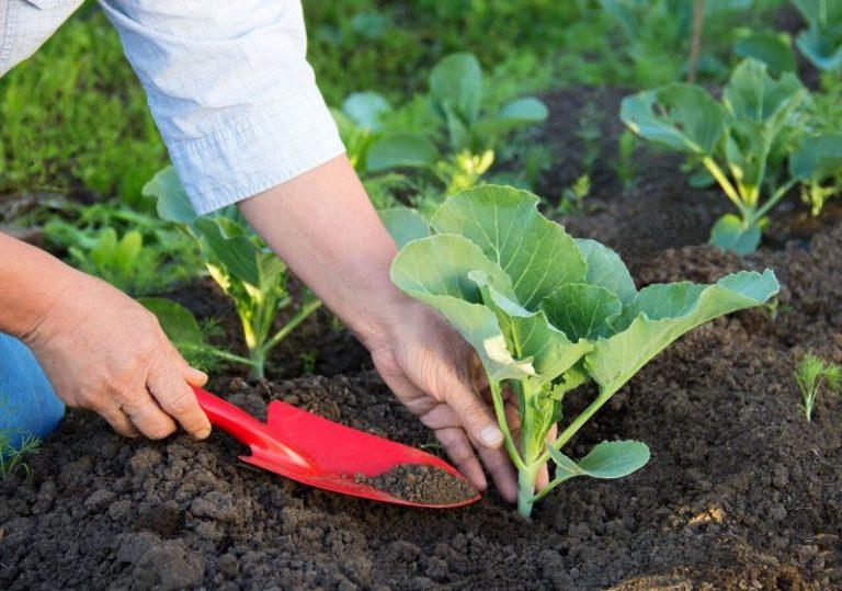 Необходимо постоянно контролировать капусту в открытом грунте на наличие вредителей