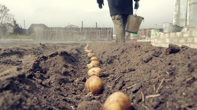 Когда сажать картошку в Подмосковье - далеко не последний 78