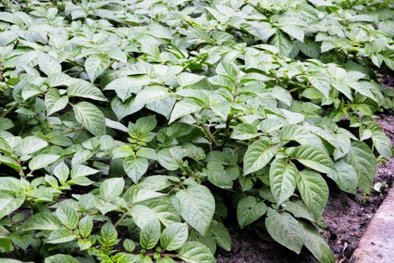 По мере роста картофеля количество воды нужно увеличивать, доводя его к фазе цветения до 10 л на растение