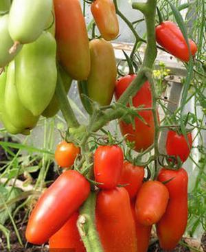 Многие огородники знают, что собой представляет томат Каспар