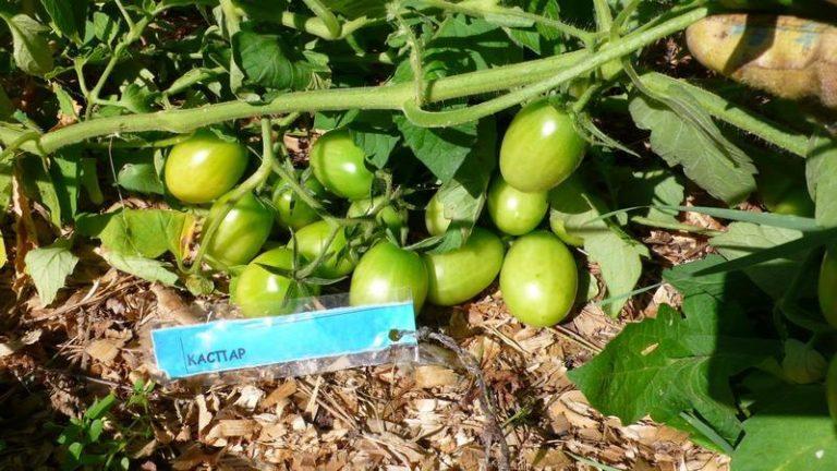 Кусты просто усыпаны плодами. С одного куста можно собрать около 1,5 кг помидоров