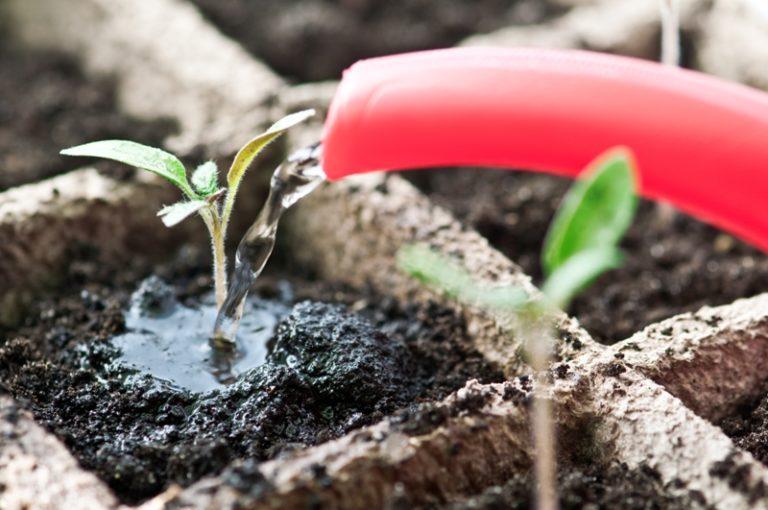 Требуется регулярный полив, но не стоит сильно заливать растение