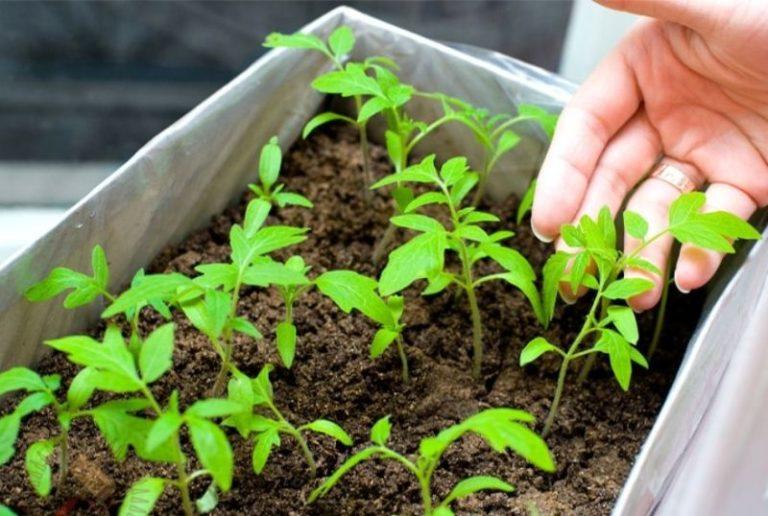 За счет возможности выращивания рассады на маленьком участке и благодаря плодовитости такой сорт очень выгоден