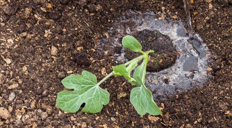 Арбуз аккуратно вынимается из горшка и устанавливается в лунку. Затем следует полить растение