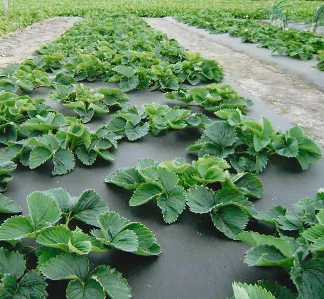 Посадка клубники на агроволокно станет отличной возможностью значительно облегчить выращивание клубники на приусадебных участках и в промышленных масштабах