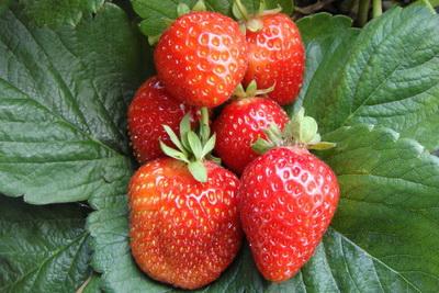 Клубника сорта Альбион: характеристика и правила выращивания
