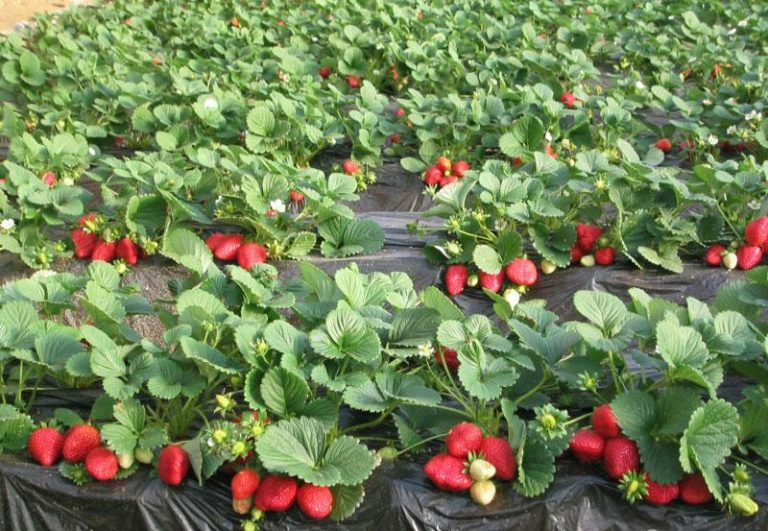 Как любая другая земляника, растение сорта Альбион требует регулярного полива, особенно в период плодоношения