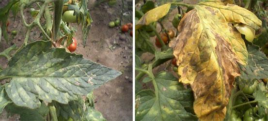 Начать лечить коричневые пятна на листьях томатов следует как можно раньше