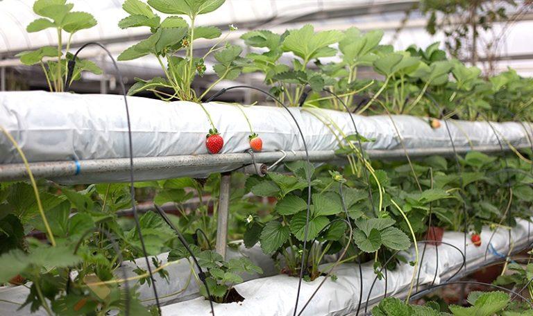 Саженцы растения помещаются в субстрат, после чего организуется подача субстрата. Для этого метода обычно используется минеральная вата, кокос, а также смеси на основе торфа, которые помещаются в светонепроницаемую пленку и подаются к корням посредством капельниц и насоса