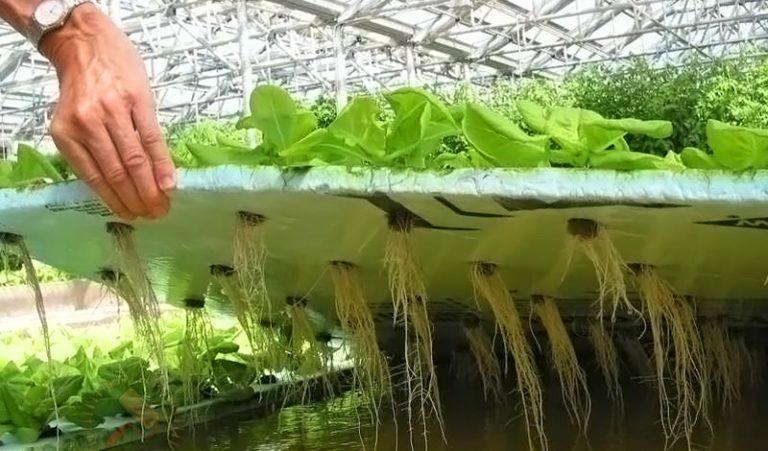 Этот способ используется редко, так как из-за прямого контакта корней с водой может развиваться гниение. Кроме того, так вы не сможете регулировать количество получаемых минералов